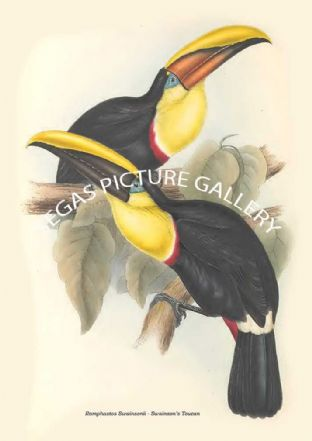 Ramphastos Swainsonii - Swainsons Toucan